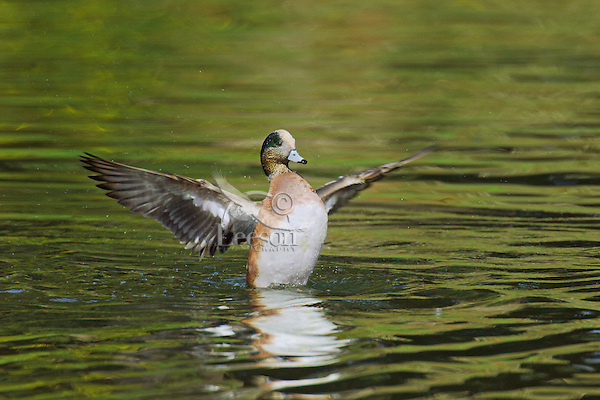 American Wigeon drake (Anas americana) drying wings.  Pacific Northwest.