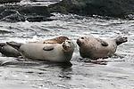 Harbor seal 3 shot hauled out on rocks, Boothbay Harbor, Maine, medium shot.