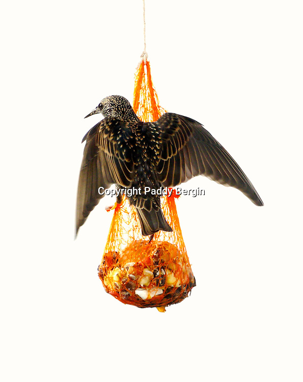 Starling,passerine birds,family Sturnidae,invasive species,iridescence,highly social,feeding,hanging on net,stock photo,Paddy Bergin