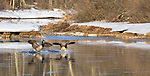 Canada geese landing on the Chippewa River in northern Wisconsin.