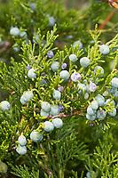 Sadebaum, Frucht, Früchte, Beeren, Stink-Wacholder, Gift-Wacholder, Stinkwacholder, Giftwacholder, Sebenstrauch, Sade-Baum, Juniperus sabina, Savin Juniper, Savin, fruit, genévrier sabine