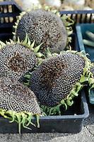 Harvested Sunflowers