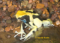 "1028-07vv  Dendrobates tinctorius ñ Dyeing Poison Arrow Frog ""Giant Orange Morph"" ñ Tincs Dart Frog  © David Kuhn/Dwight Kuhn Photography"