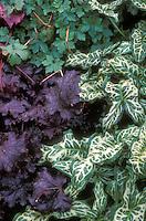 Foliage plants Arum italicum 'Tiny' with dark purple leafed perennial Heuchera Stormy Seas, and Geranium