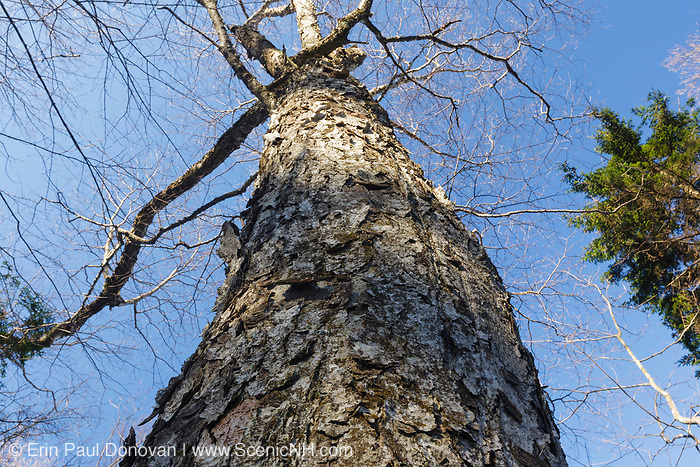Old Yellow Birch tree (Betula alleghaniensis) at Gibbs Brook Scenic Area in the White Mountains, New Hampshire during the spring months. This 900-acre designated scenic area along Gibbs Brook has old growth yellow birch and red spruce.