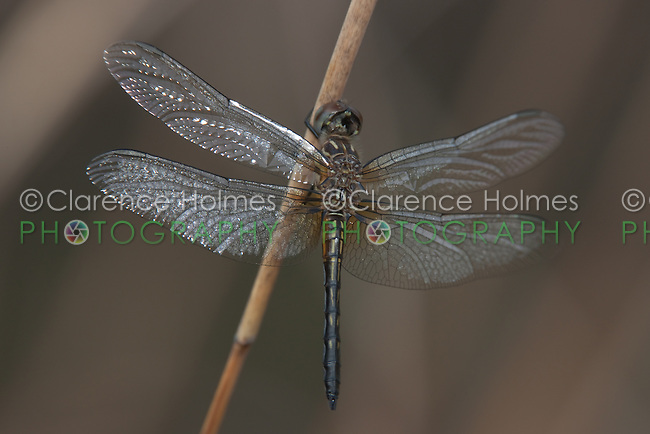 Blue Dasher (Pachydiplax longipennis) Dragonfly - Teneral Male, Lake Kissimmee State Park, Lake Wales, Florida