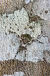 Immature instar of a lichen-mimic bush cricket or katydid (unknown species) (Tettigoniidae ) camouflaged against the bark of a tree trunk. Manu Biosphere Reserve, lowland Amazon rainforest, Peru.