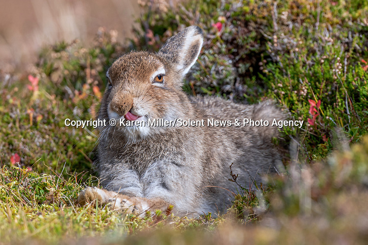 A hare pulls funny faces as it soaks up as much sun as it can before winter.  The mountain hare's light-brown coat will turn whiter the colder it gets, and is most active during the evening.<br /> <br /> These photographs were taken by wildlife photographer Karen Miller, at the Cairngorm National Park in Northeastern Scotland. SEE OUR COPY FOR DETAILS.<br /> <br /> Please byline: Karen Miller/Solent News<br /> <br /> © Karen Miller/Solent News & Photo Agency<br /> UK +44 (0) 2380 458800