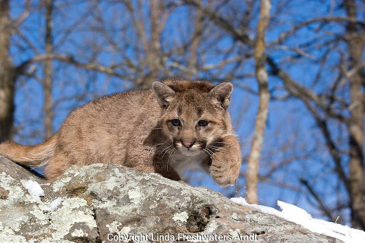 Cougar cub (Puma concolor) walking on top of a hill of rocks.  Winter.  Minnesota.