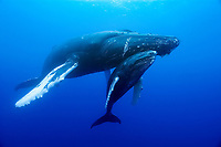 mother and calf, a humpback whale calf peers out from under its mother's chin, Megaptera novaeangliae, Roca Partida, Revilligigedos, Mexico, Pacific Ocean