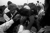 11.2010 Pushkar (Rajasthan)<br /> <br /> Men taking care of a camel during the fair.<br /> <br /> Hommes en train de s'occuper d'un chameau pendant la foire.