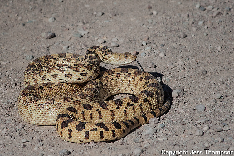 Sonoran Gopher Snake, Bosque del Apache NWR, New Mexico
