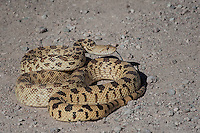 Sonoran Gopher Snake, Bosque del Apache NWR, New Mexico