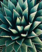 Detail closeup of Agave plant; Organ Mountains, NM