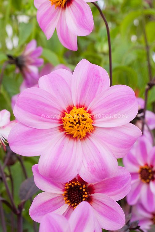 Dahlia 'Candy Eyes' aka 'Mystic Dreamer' pink flowers. single type dahlias