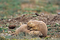 Black-tailed Prairie Dogs  (Cynomys ludovicianus) wrestling--common behavior among subadults.