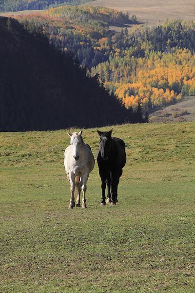 White and black horses grazing the the San Juan Mountains near Telluride, Colorado.
