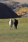 White and black horses grazing the the San Juan Mountains near Telluride, Colorado.