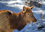 Elk cow in the snow in winter at Rocky Mountain National Park