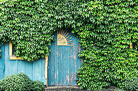 Rustic blue building shrouded in ivy.
