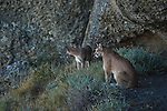 A pair of pumas look out from a perch on a hillside in Patagonia, Chile.