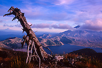 Standing Dead Tree on Mt. Margaret With Spirit Lake and Mt. St. Helens,  Mt. St. Helens National Volcanic Monument, Washington, US