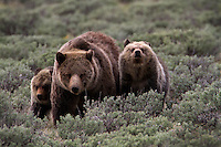 This mother (sow) grizzly(Ursus arctos horribilis) is leading her two yearling cubs through the sagebrush looking for elk calves. There are a number of humans nearby and the cubs are a bit nervous so they are staying close. The cub on the right is sniffing the air to get a better sense of what is ahead of them. Swan Lake Flats, Yellowstone.