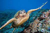 A green sea turtle, Chelonia mydas, off the coast of Maui. This is an endangered species. Hawaii.