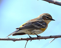Yellow-rumped (myrtle) warbler in early spring plumage