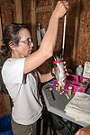 Researcher weighing Endangered Roseate tern.