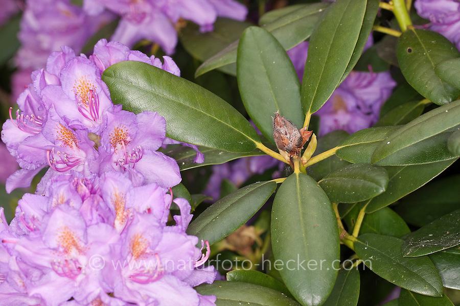 Rhododendron-Knospenfäule, Knospenfäule, vertrocknete Knospe, Knospen an Rhododendron, Zierstrauch im Garten, Rhododendron spec. verursacht durch die Rhododendron-Zikade, Rhododendronzikade, Pilzbefall, der Pilz Pycnostysanus azaleae wird durch Rhododendronzikaden übertragen, welche im Herbst ihre Eier in die Knospen legen, Graphocephala fennahi, Graphocephala coccinea, Rhododendron leafhopper