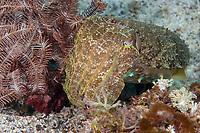 Cuttlefish, Sepia officinalis , Puerto Galera, Philippines, Pacific Ocean