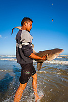 man rescues ragged tooth shark or sand tiger shark, Carcharias taurus, from seine nets to be released back into the ocean, False Bay, Cape Town, South Africa, southern Africa