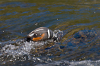 Harlequin Duck drake (Histrionicus histrionicus) feeding/searching for food on fast flowing mountain stream.  Western U.S.  Spring.