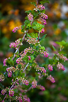 Ribes nevadense, Pink Sierra Currant flowering native shrub in Southern California Montane Botanic Garden