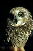 Short-earred Owl, Asio flammeus, in the Upper Peninsula of Michigan.