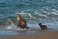 Zuidamerikaanse zeeleeuw  (Otaria flavescens) vrouwtje met jong in de branding