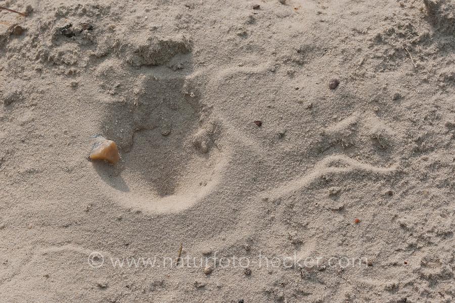 Ameisenlöwe, Ameisen-Löwe, Ameisenjungfer, Myrmeleontidae, Fangtrichter und Spuren im Sand, Larve, antlions