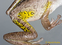 0201-0921  Cuban Treefrog Details of Yellow Warning Color Typically Hidden by Legs (Cuban Tree Frog), Osteopilus septentrionalis  © David Kuhn/Dwight Kuhn Photography.