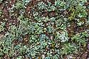 Lichens growing on tree trunk. Nordtirol, Tirol, Austrian Alps, Austria, 2300 metres.