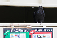 Ravens are excellent scavengers, and are often seen near garbage cans and picnic areas looking for leftovers.