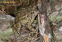 0602-0913  Fowler's Toad, Anaxyrus fowleri [syn: Bufo fowleri (Bufo woodhousii fowleri)]  © David Kuhn/Dwight Kuhn Photography