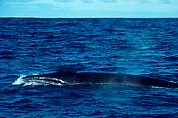 sei whale, Balaenoptera borealis, Canary Islands, Spain (E. Atlantic)