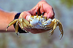 Holding Ghost Crab