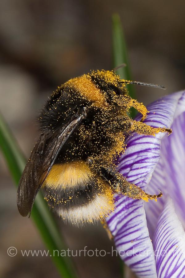 Helle Erdhummel, Weißschwanz-Erdhummel, Weißschwanz Erdhummel, Bombus lucorum, Blütenbestäubung, Nektarsuche, Blütenbesuch an Krokus, white-tailed bumble bee