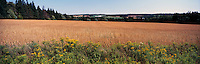 Oat Grain Field at Lower Newton, PEI, Prince Edward Island, Canada - Panoramic View