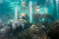 Florida Manatee (Trichechus manatus latirostris) Manatees advance past a man made barrier seeking the shelter and warm waters of the Three Sisters Springs. Crystal River,Florida