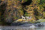 Timber Wolves or Grey Wolves (Canis lupus) resting on a rock by the shoreline. Near Mussel Inlet, Great Bear Rainforest, British Columbia, Canada.