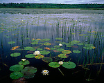 Douglas County, WI <br /> Still waters of the St. Croix river flowage with pads of American water-lily, or fragrant water lily (Nymphaea odorata), near Gordon