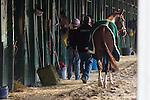 HALLANDALE BEACH, FL - JANUARY 14:   <br /> California Chrome being cooled out after breezing 5 furlong at Gulfstream Park. (Photo by Arron Haggart/Eclipse Sportswire/Getty Images